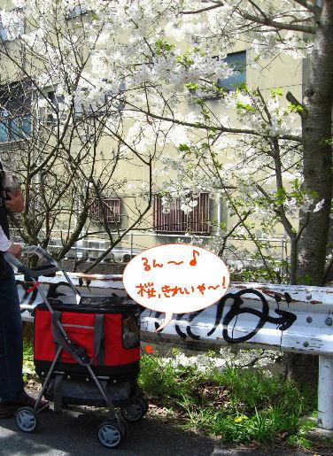 桜、綺麗.JPG