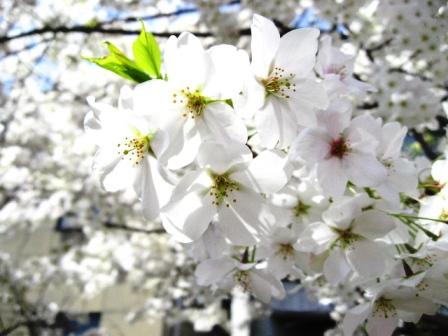 Monちゃんと見た桜.JPG