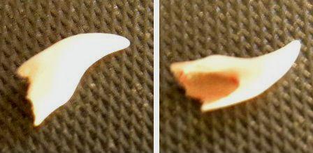 ポポの歯.jpg